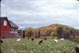 Chickens and roosters in farm Hillsdale, New York